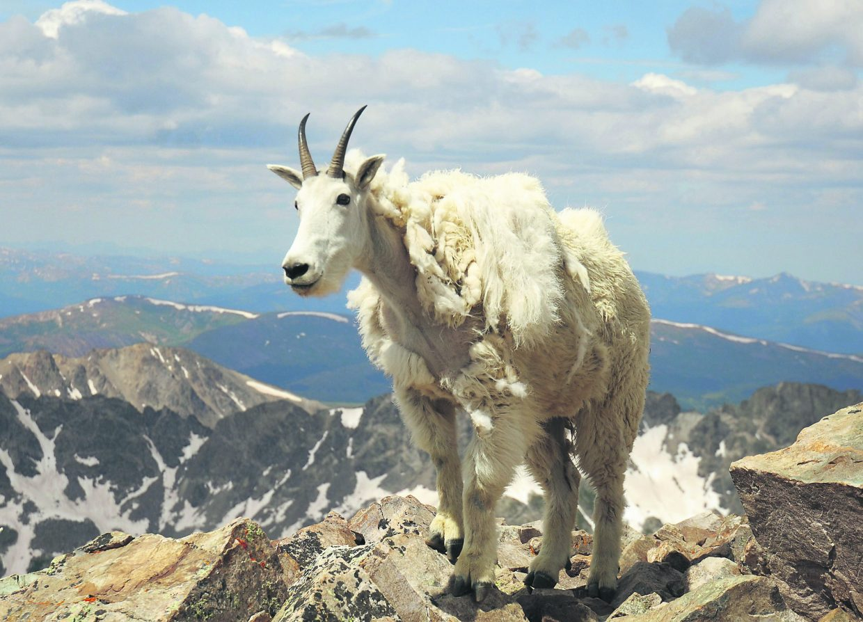 Mountain goats are common sights on many 14ers.