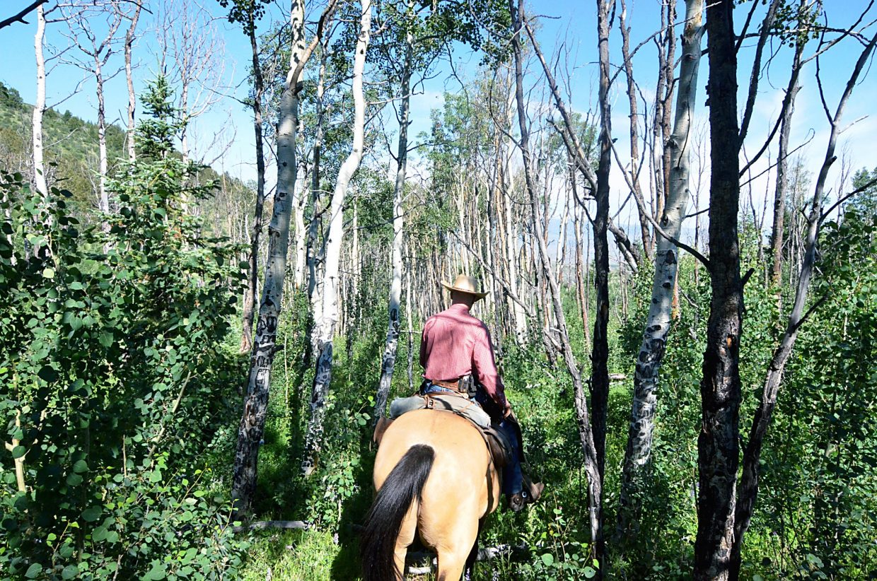 Han Smith rides through an aspen grove during a cattle drive at the Rusty Spurr Ranch.