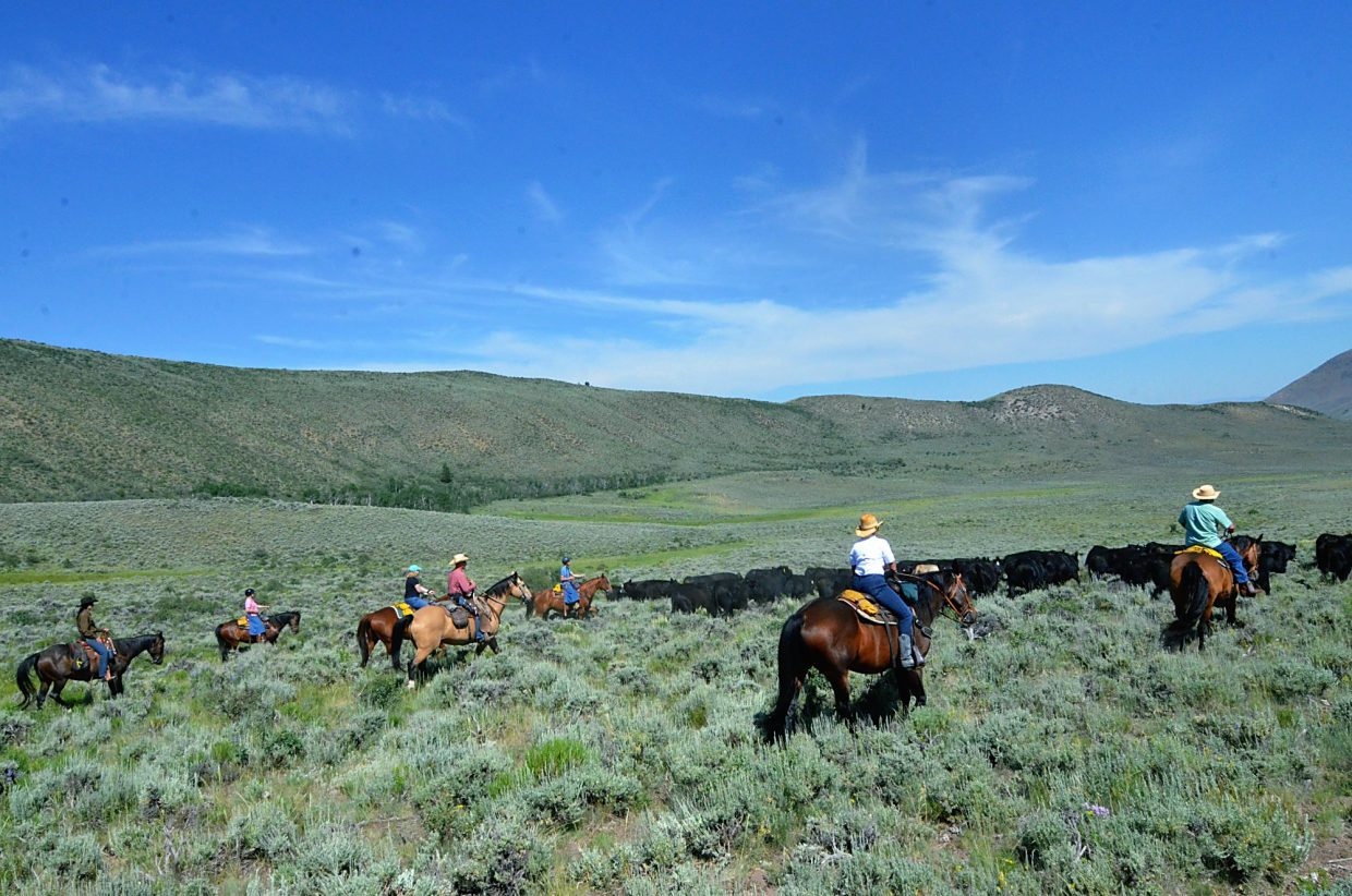 Cattle drive participants sweep their horses back and forth across the back of the herd, moving them across the range at the Rusty Spurr Ranch.