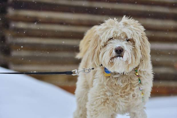 Mischief, a labradoodle owned by Heidi Misch, takes a break from eating snow Saturday before the start of the fourth annual Mardi Gras 4Paws dog parade in Frisco.