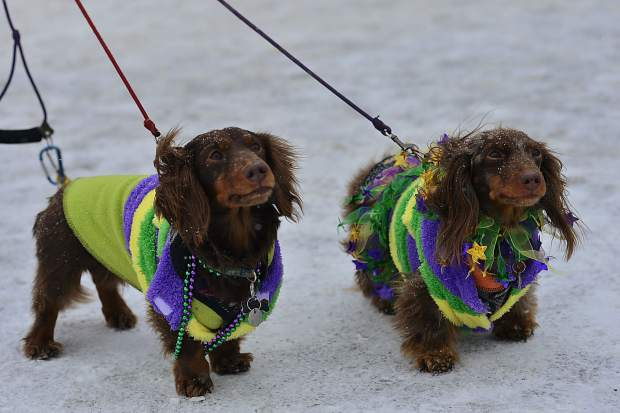 Pinball and Rambo, owned by Susan and Dan Donaldson, get ready to head out for the fourth annual Mardi Gras 4Paws dog parade Saturday in Frisco.