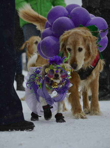 Lucky, being walked by his owner Jenise Jensen, works his way down Main Street in Frisco on Saturday. Lucky's costume was an award-winner at the fourth annual Mardi Gras 4Paws pet parade in downtown Frisco.