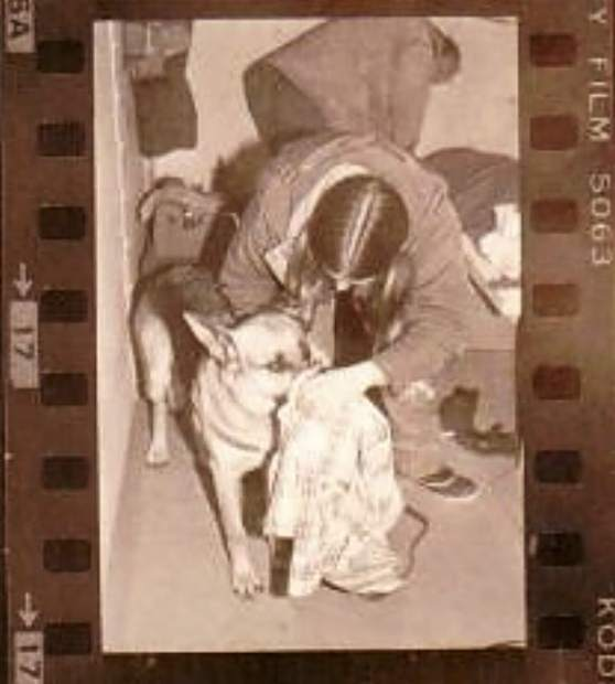 A contact sheet from the 1970s shows a tracking dog getting a whiff of Ted Bundy's shirt as authorities launched a manhunt to recapture him.
