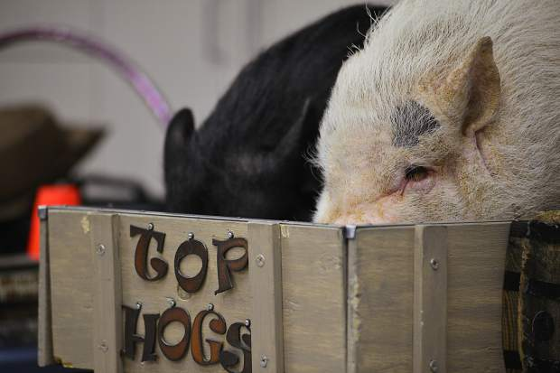 Stars of the Top Hogs animal trick show — Digger, right, and Mudslinger — sit tight side by side in their wagon before the start of Wednesday performance at the Summit County Library's Main Library in Frisco.