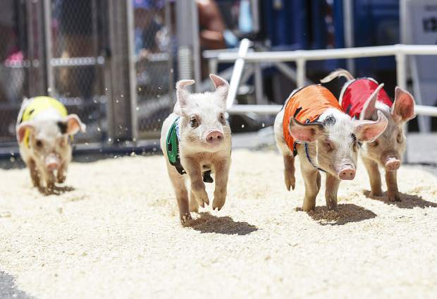 Pigs take off for a race during the annual Colorado BBQ Challenge Friday, June 16, on Main Street in Frisco.