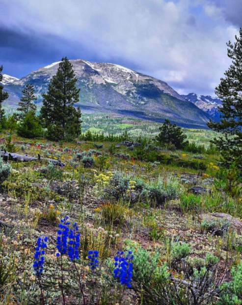 There's no time like summer in the Rockies, especially when you can see wildflowers right outside your front door. It's peak wildflower season in Summit County. Submit your wildflower photos to share@summitdaily.com or use our hashtag, #exploresummit.