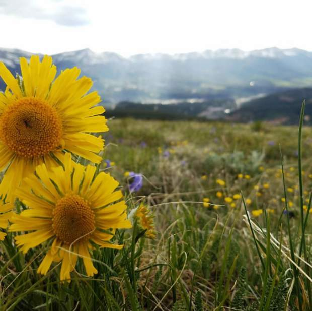 Wildflowers found alongside the Baldy Mountain trail. It's peak wildflower season in Summit County. Submit your wildflower photos to share@summitdaily.com or use our hashtag, #exploresummit.