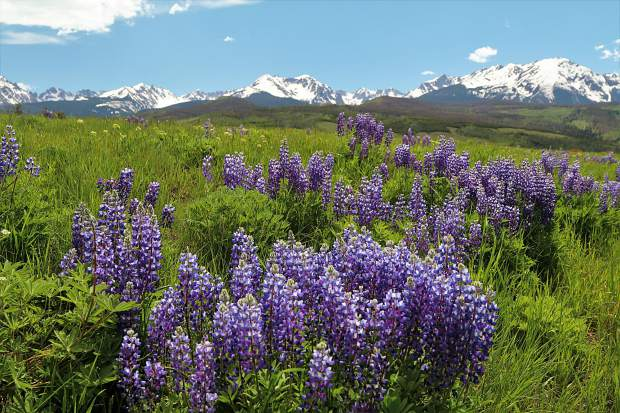 Five Summit County hikes for colorful wildflowers in peak season