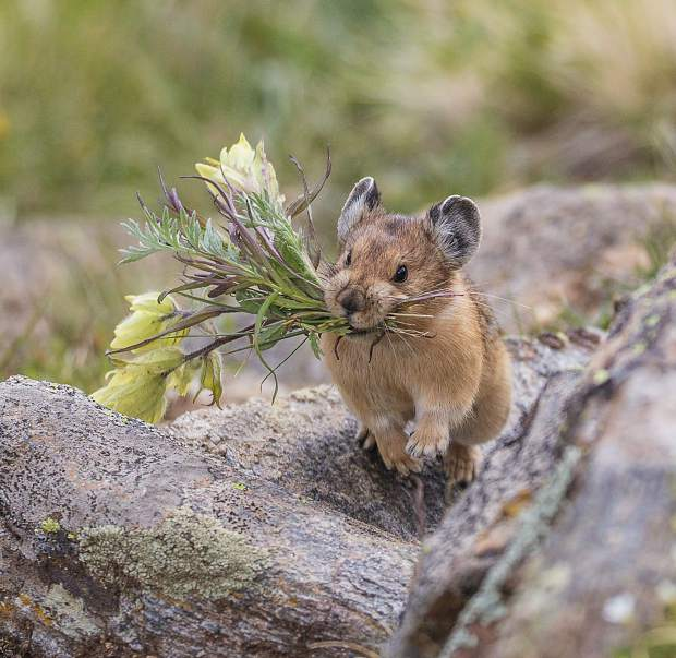 This Pika has clipped off flowers and is running to its secret storage hiding place to store them for a cold winter's day on Loveland Pass.