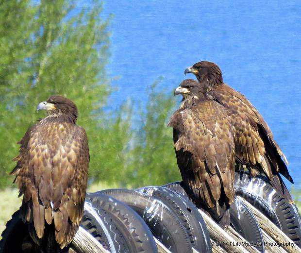 Three fledged young eagles seen in Silverthorne.