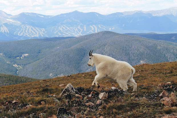 A mountain goat navigates on top of Wise Mountain.