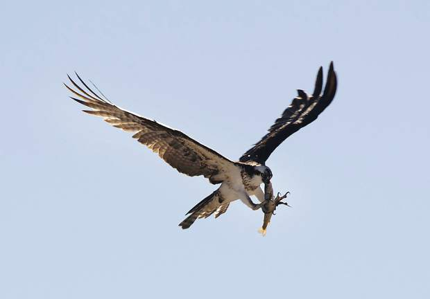 An Osprey carries a fish in its mouth while switching to its talons in mid flight.