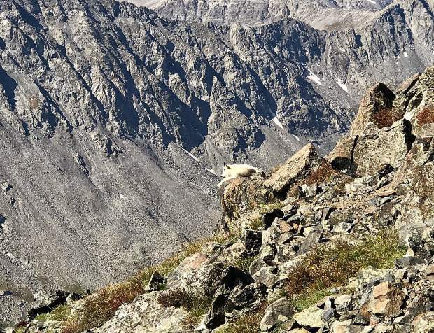 Best seat in the house for a mountain goat on Quandary Peak.