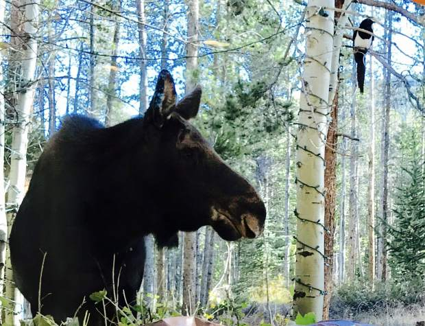 This female moose came to visit one morning with a cute little bird that followed her everywhere.