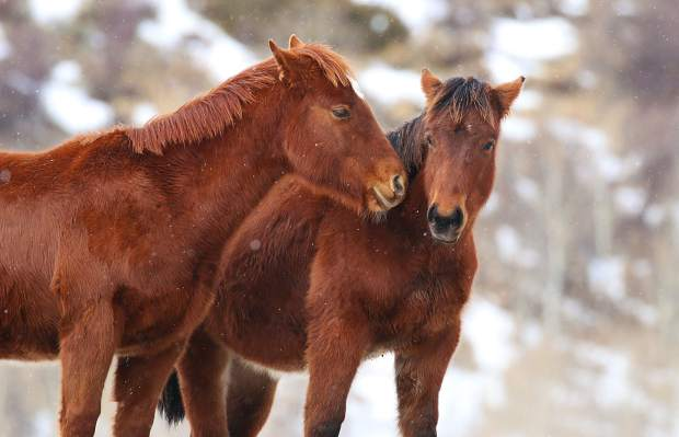 These horses, seen in the lower Blue River Valley north of Silverthorne, were feeling a bit frisky Wednesday afternoon before the snow rolled back in.