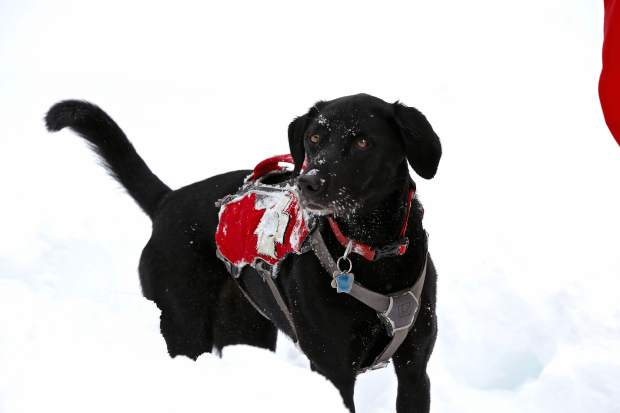 Luna is a 5-year-old, pure-bred black Labrador. Most avalanche dogs get on board within the first two years of their lives, and they continue working until they are about 10 years old.