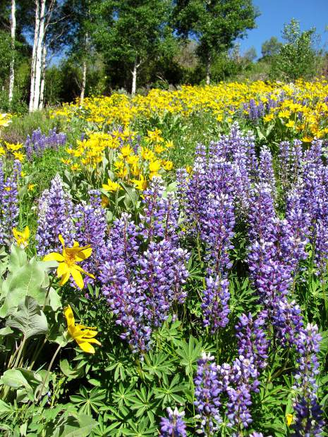 Wild Lupine and Mule's Ears flowers taken north of Silverthorne off Blue River Parkway.