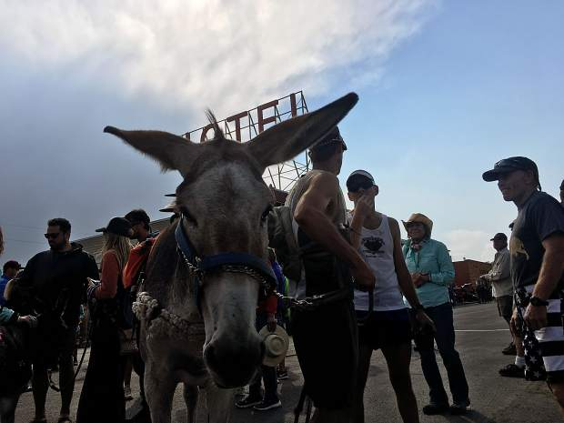 A burro named Mary Margaret stares into the camera on Fairplay's Front Street after she and her race partner Kirt Courkamp (immediate right) won the 70th annual World Championship Pack Burro Race on Sunday with a time of 6 hours, 6 minutes and 38 seconds. It was the tandem's third consecutive win in Fairplay.