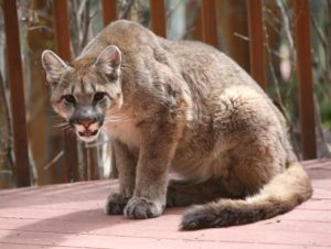 Warning issued for Edwards residents after 8-10 mountain lions seen roaming neighborhoods