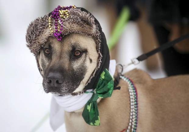 Duncan, a Belgium malamute, observes other dogs during the Mardi Gras 4Paws Parade Saturday, Feb. 10, along Main Street in Frisco.