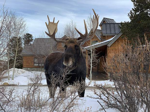 A bull moose at Farmers Korner Vet poses for a photo on Thursday.