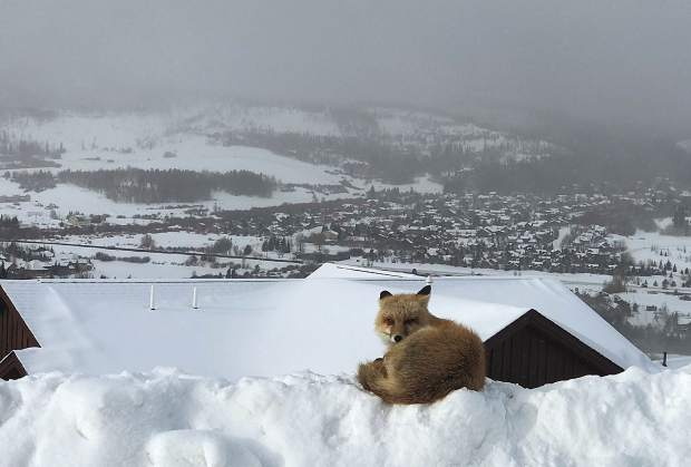 A fox resting in the Angler Mountain Ranch neighborhood in Silverthorne.