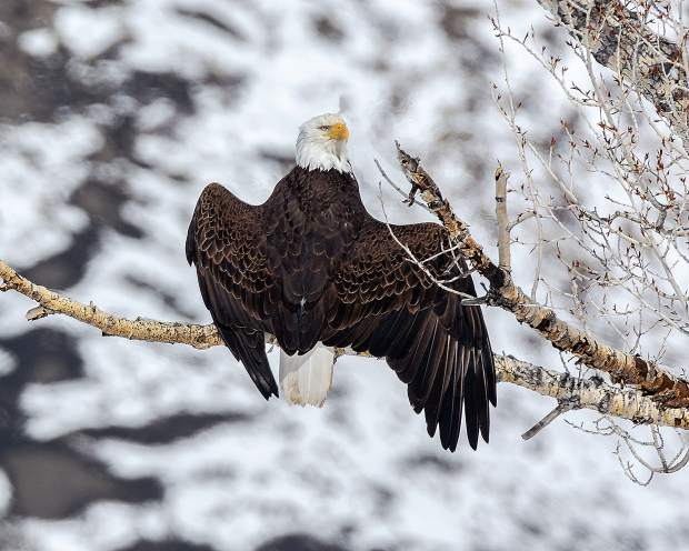 The bald eagles are nesting again in Summit County. The female was tidying up the nest while the male looked to be drying its wings while standing on a cottonwood tree branch.