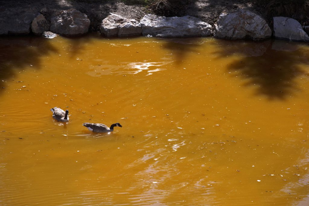 Geese paddle as the Dredge Pond begins to fill in entirely in orange from the spring runoff passing through old mines upstream of Blue River Saturday, April 27, in Breckenridge.
