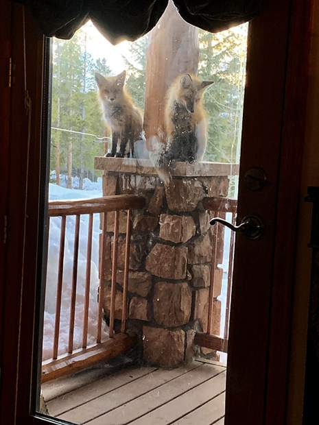 A pair of foxes on a front porch.