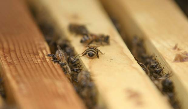 Honey bees on the rooftop of Beaver Run Resort and Conference Center Thursday, May 23, in Breckenridge. The bees will produce honey for sale at the resort, and contribute to the resort's renewed mission to increase sustainability.