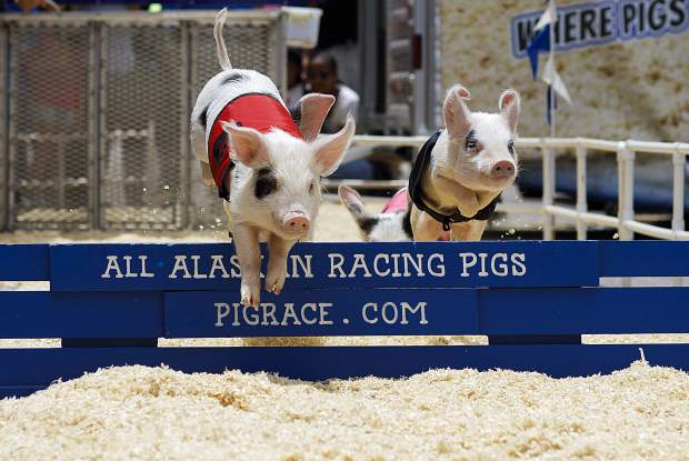 All-Alaskan Racing Pigs sprint around the track during the 26th Annual Frisco BBQ Challenge Saturday June 15, on Main Street in Frisco.