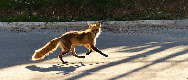 Early morning jog for this fox in Breck.